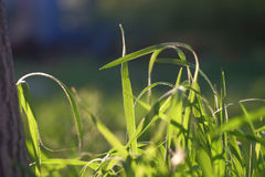 Blades of fresh spring grass backlit macro Stock Images