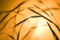Blades of grass. With corn on orange background Royalty Free Stock Photography