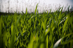Blades of grass. Beautiful detail of grass blades Stock Image