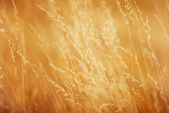 Blades of grass. In golden tones Stock Photography