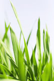 Blades of a grass. Juicy green blades of a grass against the light sky Stock Images