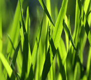 Blades of Grass. A macro of blades of green grass Royalty Free Stock Photo