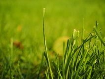 Blades of grass. Against a bokeh lawn background - selective focus Stock Image