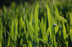Blades of grass Royalty Free Stock Images