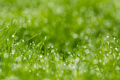 Blades of grass with dew. Close up of green blades of grass with dew drops in sunny yard Stock Photos