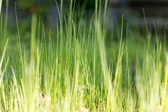Blades of grass green Stock Photography