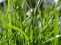 Blades of grass. In a green lawn Royalty Free Stock Images