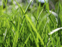 Blades of grass. In a green lawn Royalty Free Stock Photography
