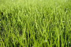 Blades of grass. Green lawn, blades of grass with dew drops Stock Photo