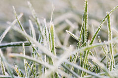 Blades of grass with rime 2 Stock Photos