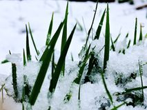 Blades of grass in the snow. Snow covered lawn Royalty Free Stock Photos