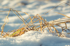 Blades of grass in the snow stock image