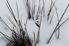 Blades of grass in the snow. Blades of grass peeking through the snow Royalty Free Stock Image
