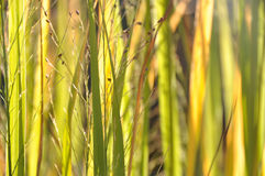 Blades of grass in the sun. Sunlight lit blades of grass in shades of green and yellow Royalty Free Stock Image