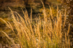 Blades of grass on a sunny autumn morning Royalty Free Stock Photos