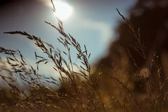 Blades of grass at sunset in summer season Royalty Free Stock Photography