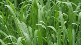 Blades of grass swaying to the wind stock footage