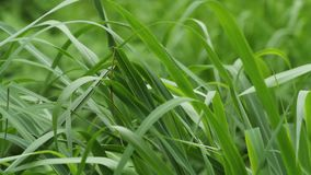 Blades of grass swaying to the wind stock video footage