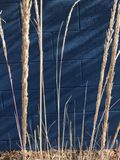 Blades of grass. Grass wafting in front of a blue wall Royalty Free Stock Images