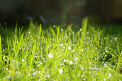 Blades of grass and water drops Stock Photos