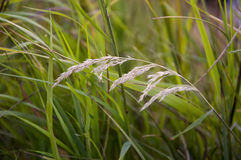 Blades of grass witn spikelets on the grey background Royalty Free Stock Photography