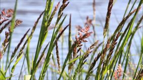 Blades of grasses in front of a river stock video footage