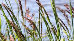 Blades of grasses in front of a river stock video