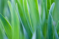 Blades of green grass. Close up on blades of green grass with soft focus Stock Photos