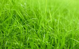 Blades of green grass of the lawn, macro, background texture. Blades of green grass on the lawn, detail, close-up, blurred background royalty free stock photography