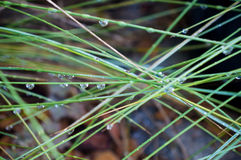 Blades of green grass with morning dew Royalty Free Stock Image