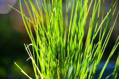 Blades of Green Grass in the Sunlight Stock Photography