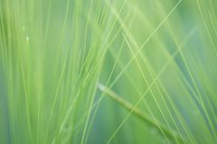 Blades of green wheat close up stock photography