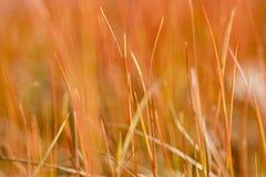 Blades of Juncus gerardii. New blades of the grassy plant Juncus gerardii (original color, selective focus Stock Image