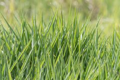 Blades of tall fresh lush healthy green grass. Growing in a field. Background blurred. Grass only. Isolated royalty free stock images