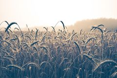 Blades of wheat Royalty Free Stock Image