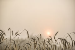 Blades of wheat in a foggy summer morning Royalty Free Stock Photo