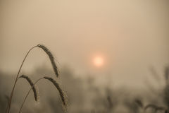 Blades of wheat in a foggy summer morning Royalty Free Stock Images