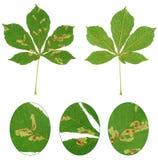 Bladet av det kastanjebruna trädet anföll vid häst-kastanjen bladgruvarbetaren, den Cameraria ohridellaen Arkivbilder