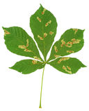 Bladet av det kastanjebruna trädet anföll vid häst-kastanjen bladgruvarbetaren, den Cameraria ohridellaen Royaltyfri Bild