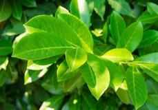 Bladet för filialbuskegräsplan tände vid ljust solljus Royaltyfria Bilder