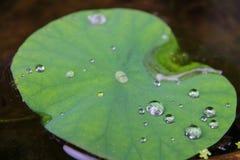 Bladet som svävar på yttersidan av vattnet av dammet Royaltyfri Foto