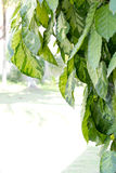 Bladgouden (pictum Graptophyllum (L.) Royalty-vrije Stock Afbeelding