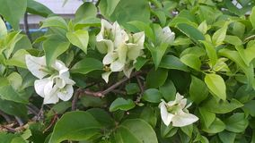 Bladgräsplan för vit blomma Arkivbild