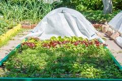 Bladgrönsak Koriander, persilja, dill och grönsallat Royaltyfria Bilder