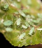 Bladlöss på ett blad i naturen Makro arkivfoto