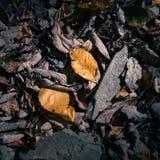 Bladlik, också som är bekanta som torkade sidor arkivfoto