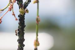 Bladlushemsökelse av trädgårds- växter royaltyfri foto