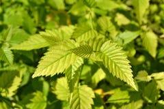 Bladożółci liście Zdjęcia Stock