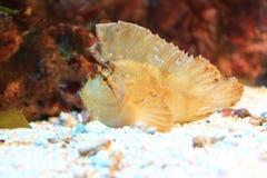 Bladscorpionfish Royalty-vrije Stock Afbeelding