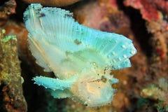 Bladscorpionfish Stock Fotografie